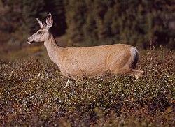 A Mule Deer doe grazing near the Devon Lakes.
