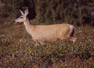 Constantine Samuel Rafinesque - The Mule Deer is one of many species first named by Rafinesque.