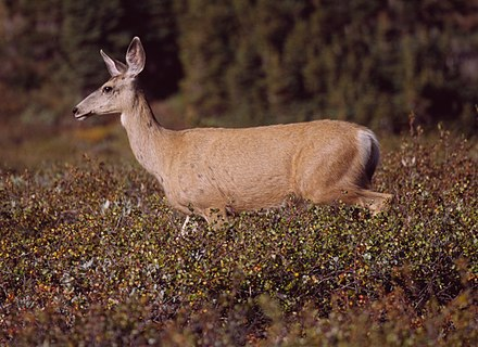 The Mule Deer is one of many species first named by Rafinesque. Mule Deer at Clearwater Pass 2.jpg