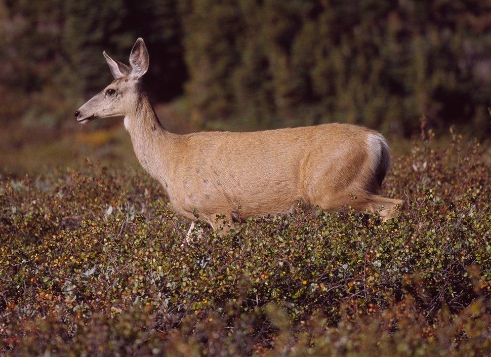 Mule Deer at Clearwater Pass 2