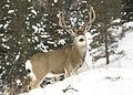 Mule buck woods myatt (5489215755).jpg