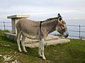 Mulo sul monte Grappa.jpg