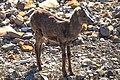 Muncho Pass area goats (16006380419).jpg