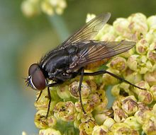 Musca-autumnalis-Muscid-fly-20100718a.jpg