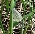 Mustard White (Pieris oleracea) (7078662215).jpg