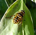 Myathropa florea. Syrphidae - Flickr - gailhampshire (2).jpg