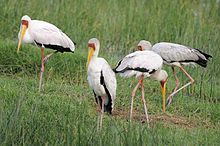 Mycteria ibis -Lake Nakuru National Park, Kenya -four-8.jpg