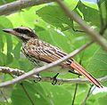 Myiodynastes maculatus - Flickr - Dick Culbert.jpg