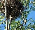 Myiopsitta monachus -nest -Brazil-8.jpg