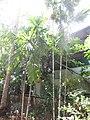 Mysore Areca Nut മൈസൂർ അടയ്ക്ക മരങ്ങൾ.JPG