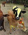Mysuru Decorated Cows. January 2017..jpg