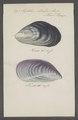 Mytilus edulis - - Print - Iconographia Zoologica - Special Collections University of Amsterdam - UBAINV0274 076 01 0022.tif