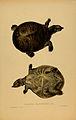 N230 Sowerby & Lear 1872 (nilssonia gangetica).jpg