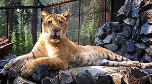 Novosibirsk Zoo - Image: NSK ZOO liger