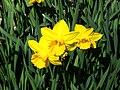 Narcissus ('California' cultivar), Real Jardín Botánico, Madrid.jpg