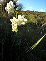 Narcissus dubius0888 01.JPG