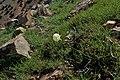Narcissus peroccidentalis kz03.jpg