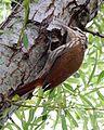 Narrow-billed woodcreeper (Lepidocolaptes angustirostris) - Flickr - Lip Kee (2).jpg