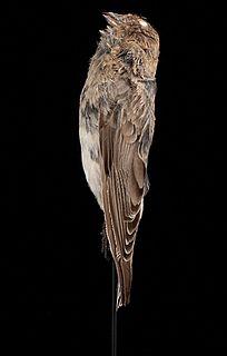 Sillems mountain finch species of bird