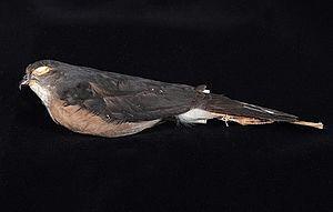Dwarf sparrowhawk - Image: Naturalis Biodiversity Center ZMA.AVES.47471 Accipiter nanus Blasius, W.H., 1897 Accipitridae skin specimen