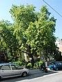 Naturdenkmal 182 GuentherZ 2011-08-25 0120 Wien13 Dommayergasse07 Platane.JPG
