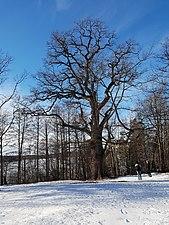 Naturminnesskyddade träd i Görvälns naturreservat 04.jpg
