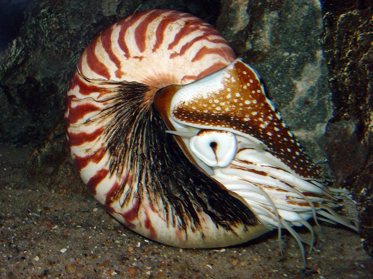 Nautilus pompilius im Aquarium Berlin
