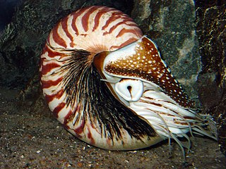 Nautiloid subclass of molluscs