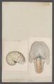Nautilus pompilius - - Print - Iconographia Zoologica - Special Collections University of Amsterdam - UBAINV0274 091 03 0010.tif