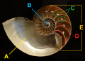 Nautilus pompilius - Fernbank Museum of Natural History - DSC00294 basic shell tags.png
