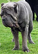 Neapolitan Mastiff Flickr.jpg