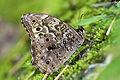 Neope bremeri taiwana ventral view 20140618.jpg