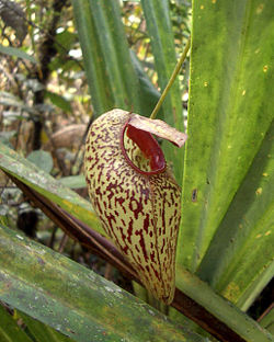 Nepenthes aristolochioides5.jpg