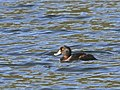 New Zealand Scaup (male) on the water.jpg