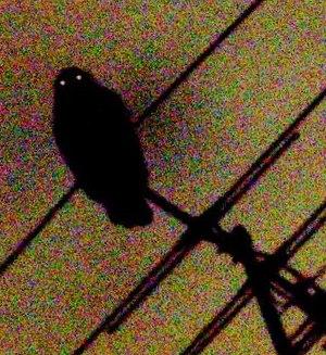 Ninox strenua -Chatswood West, New South Wales, Australia -6April2009
