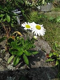 Nipponanthemum - Wikipedia