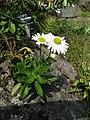 Nipponanthemum nipponicum 002.JPG