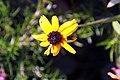 Nipponanthemum nipponicum 1zz.jpg