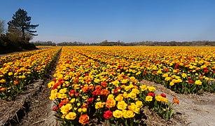 Noordwijkerhout, veld aan de Oosterduinen met geelrode dubbele tulpen IMG 9024 2021-04-27 13.33.jpg