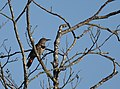 Northern Flicker (red-shafted (30682887417).jpg