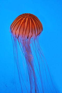Northern Sea Nettle (Chrysaora Melanaster)