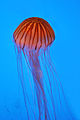 Northern Sea Nettle (Chrysaora Melanaster).jpg