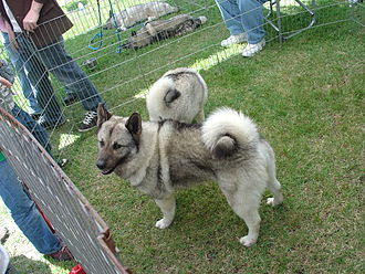 Norwegian Elkhound - A Norwegian Elkhound being shown off at the Scandinavian Festival hosted by California Lutheran University in Thousand Oaks, CA