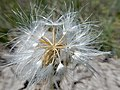 Nothocalais cuspidata (27592520095).jpg