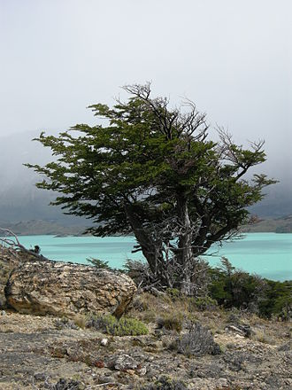 Perito Moreno National Park - Image: Nothofagus pumilio general view 01