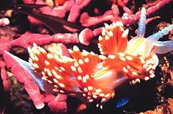 Flabellina sp. Foto: US National Oceanic and Atmospheric Administration