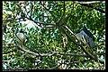Nycticorax nycticorax nycticorax (5274424850).jpg