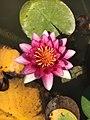 Nymphaea Alba Rosa Geneve.jpg