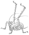 ORTH Stenopelmatidae Weta with raised legs.png