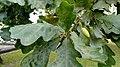 Oak-spb.jpg
